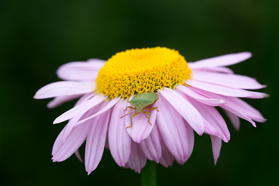 15 Green shield bug on a pink Daisy - 50x75cm on dibond with matte coating and no frame