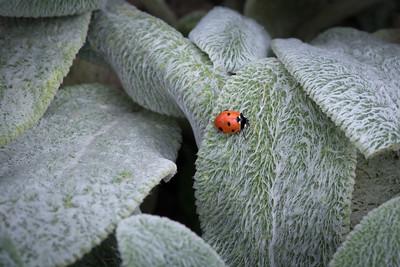 04 Ladybird on big leaves - 50x75cm on dibond with matte coating