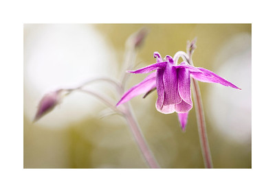 06 purple flower - 53x75cm photoprint with black frame and plexiglass