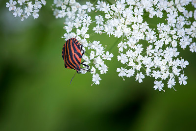 05 Graphosoma lineatum - 50x75cm on dibond with matte coating