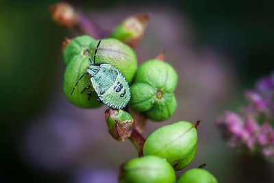 20 Green shield bug on green berries - 50x75cm on dibond with matte coating