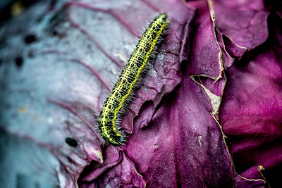 07 Caterpillar on red cabbage