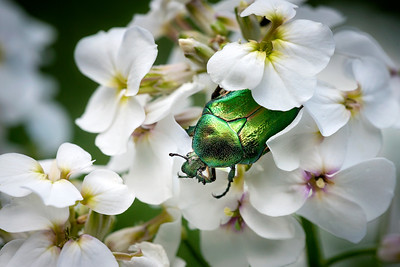 21 Green insect on white flower - 50x75cm on dibond with matte coating and no frame