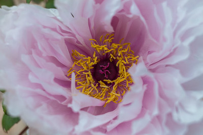 Peonies at Toshogu Shrine in Ueno Park