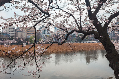 Cherry Blossom at Shinobazu-no-ike