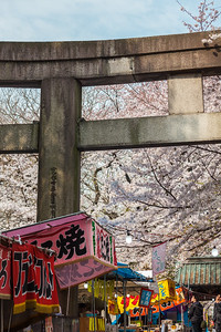 Cherry Blossom at Toshogu Shrine in Ueno Park