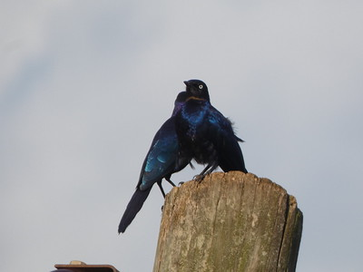 Ruppell's Starling