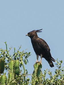 Crested Eagle, Queen Elizabeth National Park