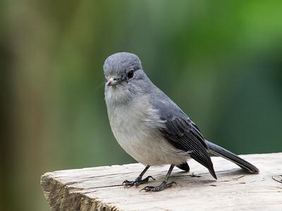 White-eyed Slaty Flycatcher (race w/o white eye-ring)