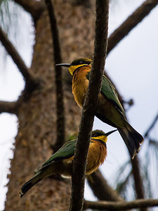 Cinnamon-chested Bee-eater