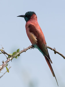 Northern Carmine Bee-eater