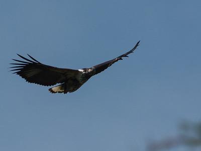 Juvenile African Fish Eagle, Kazinga Channel, Queen Elizabeth National Park