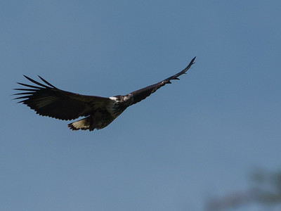 Juvenile African Fish Eagle, Kazinga Channel, Queen Elizabeth National Park