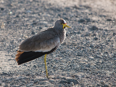African Wattled Lapwing, Queen Elizabeth National Park