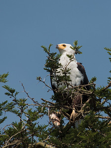African Fish Eagle, Kazinga Channel, Queen Elizabeth National Park
