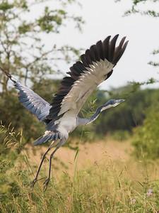 Grey Heron - awkward landing....