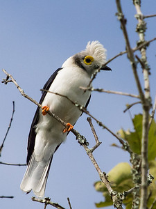 White-crested Helmet-shrike
