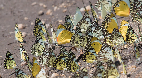 Butterflies, Queen Elizabeth National Park