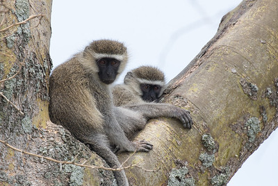 Young Vervet Monkeys
