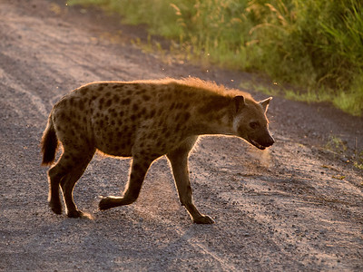 Spotted Hyena, QE National Park