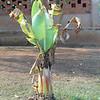 Matooke treelet