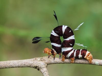 Caterpillar, Ziwa Rhino Sanctuary