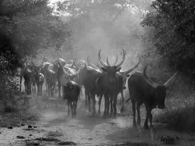 Ankole long-horned cattle