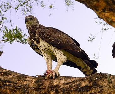 Martial Eagle with Nile Monitor kill