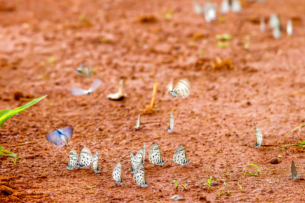 Butterflies at Murchison Falls