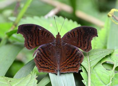 Brown Pansy Junonia stygia