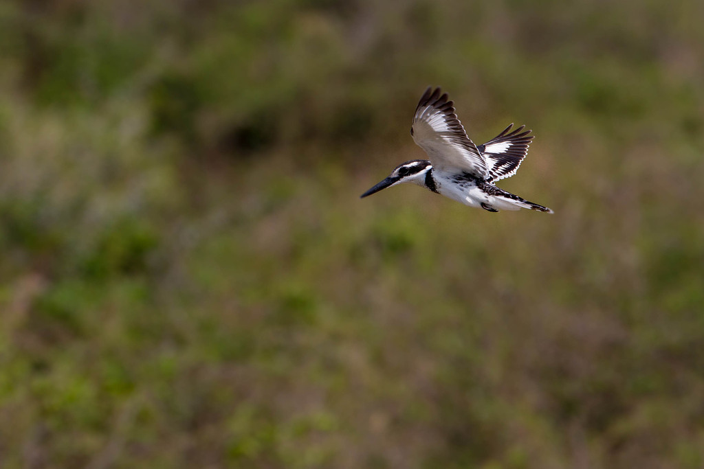 Pied Kingfisher hunting