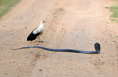 Palm-nut Vulture and Spitting Cobra
