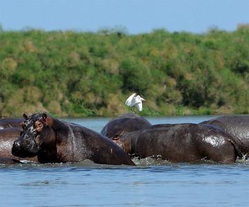 Hippopotamus & Intermediate Egret