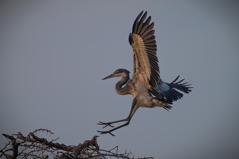 gray heron coming in for landing.jpg