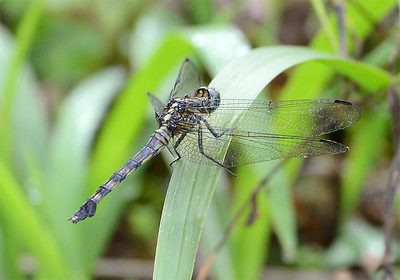 Orthetrum sp.