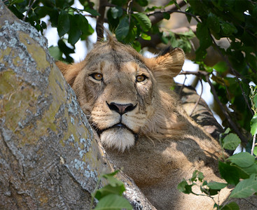 Tree Climbing Lions of Uganda