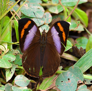 African Leaf Butterfly Kallimoides rumia