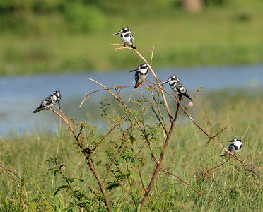 Pied Kingfisher