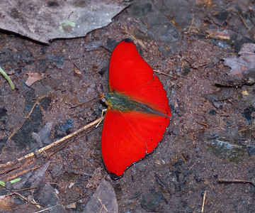 Blood Red Glider Cymothoe sangaris
