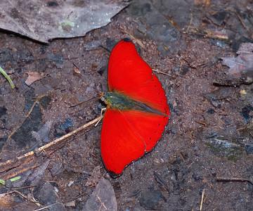 Blood Red Glider Cymothoe sangaris