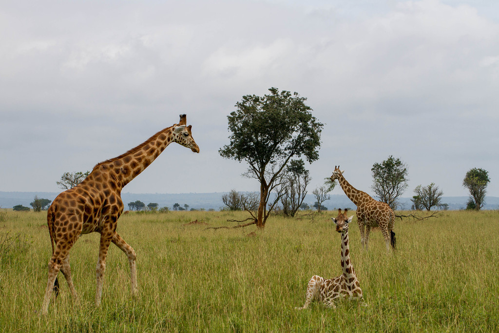 Rothschild's Giraffe Family