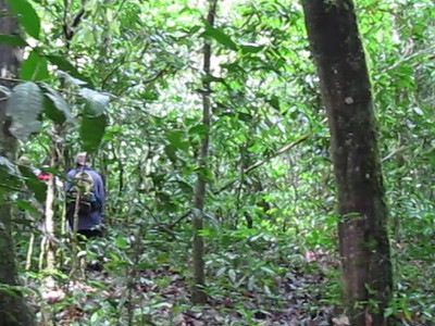 Walk in Kibale Forest with the sounds of chimps around us...