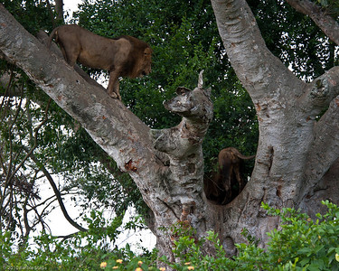 Two lions in tree now .