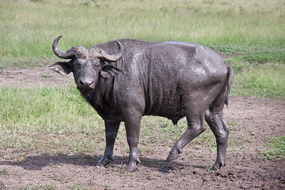 one big muddy Cape Buffalo