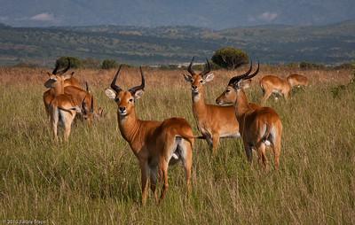 Kob (type of antelope)