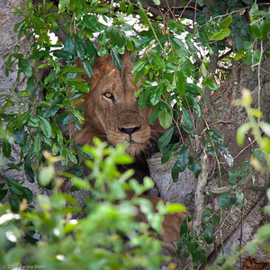 Another lion in tree