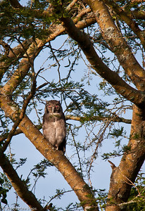 """Big """"eagle"""" owl (in the daylight)"""
