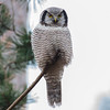 Northern Hawk-Owl - Høgeugle