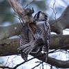 Northern Hawk-Owl - Høgeugle