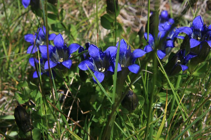 Mountain bog Gentian  (Gentiana calycosa)